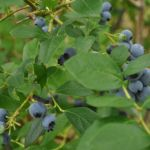It's Blueberry Picking Time!