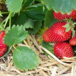Tis' the Season for Strawberries!