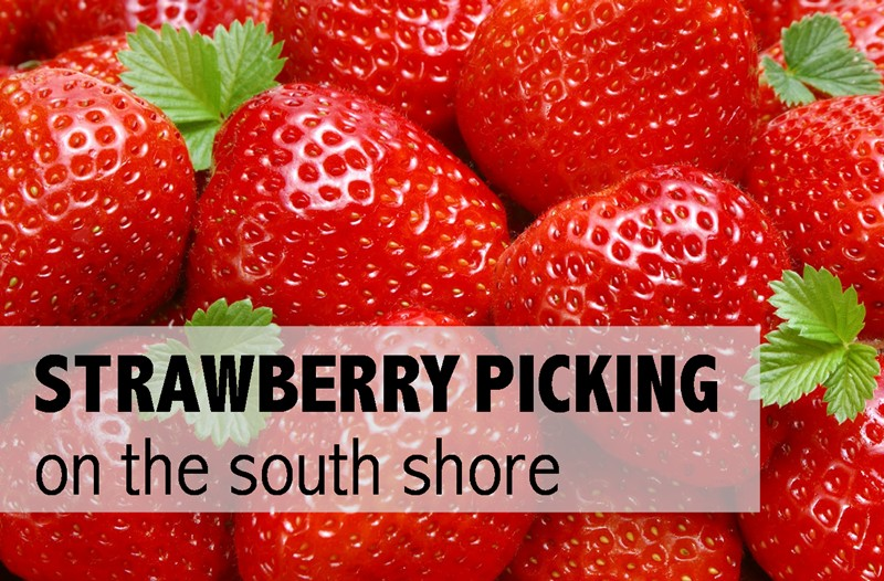 strawberries on the south shore