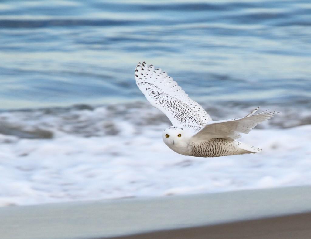 mass audubon snowy owl