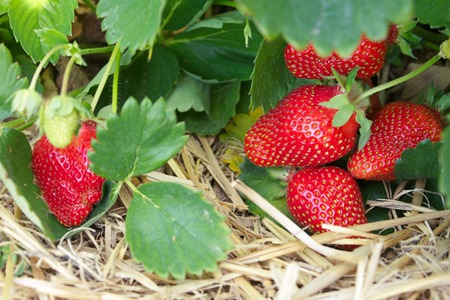 Fresh ripe red strawberries in the field, selective focus