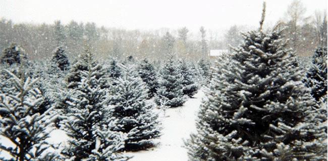 christmas-tree-farm